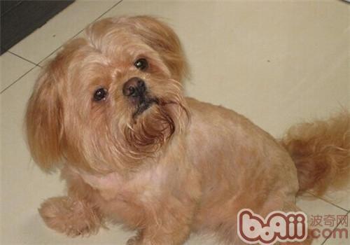 拉萨犬的形态特征-狗狗品种
